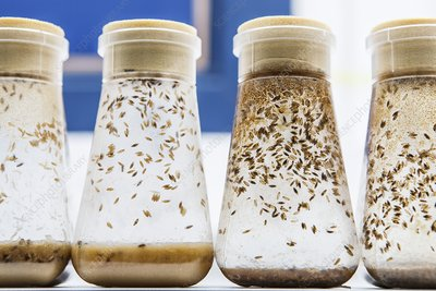 Breeding fruit flies for research