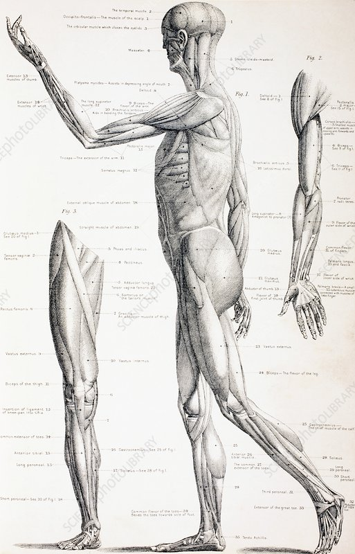 The Muscles Of The Human Body