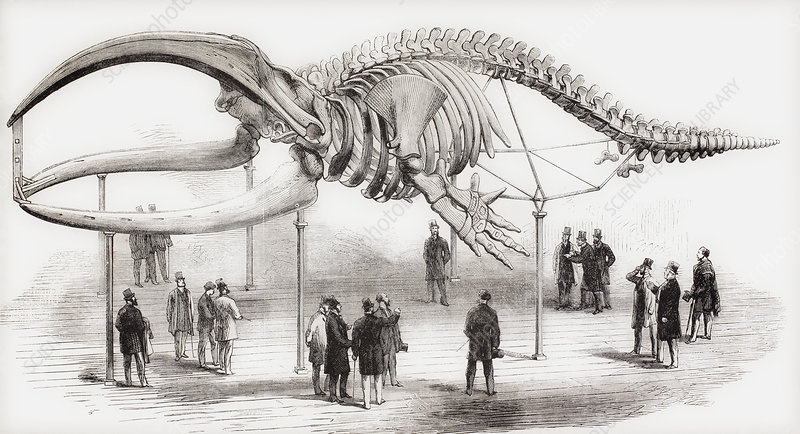 The Skeleton Of A Whale