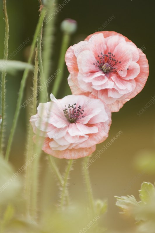 Pink double Shirley poppies