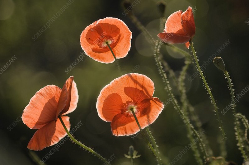 Red Shirley poppies