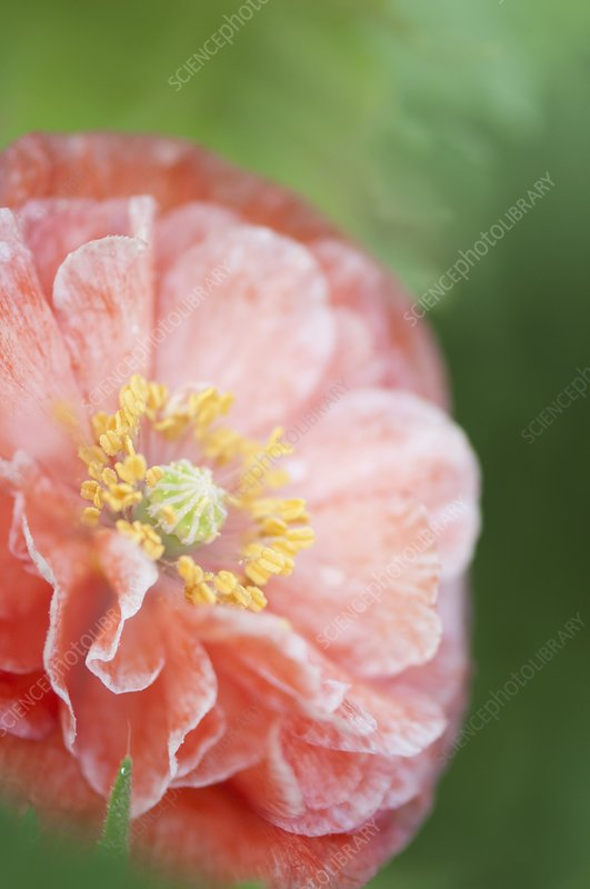 Pink double-ruffled Shirley poppy