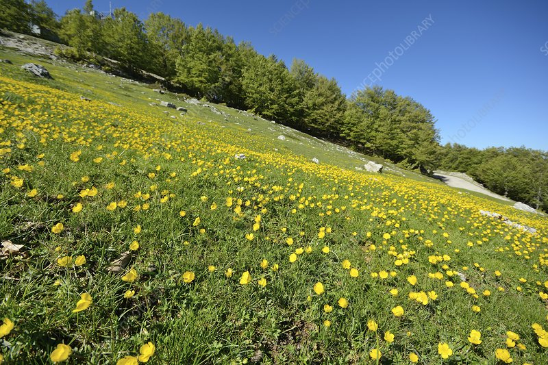 Appenine buttercups in a meadow
