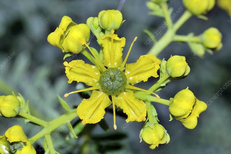 Common rue (Ruta graveolens) flowers