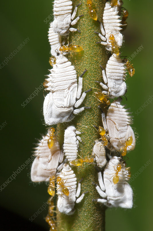 Ants tending planthopper nymphs