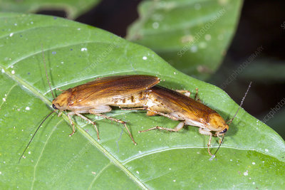 Cockroaches mating
