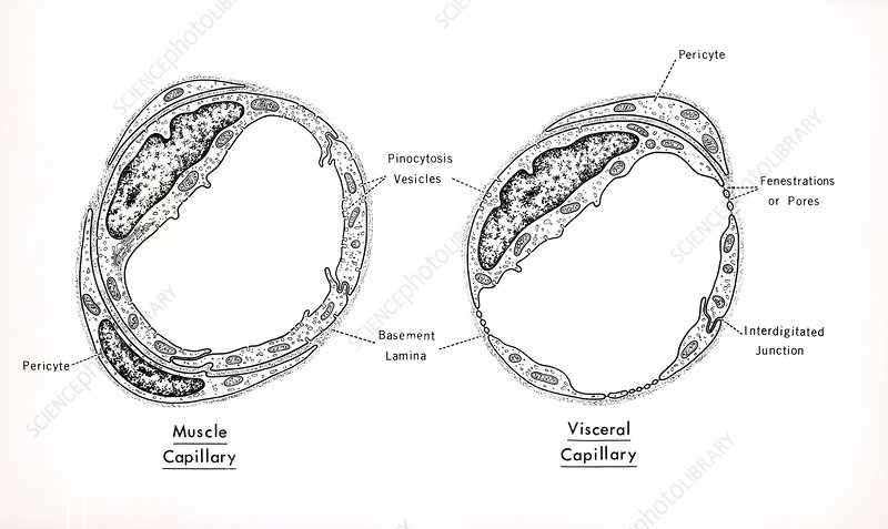 Structures of Capillaries