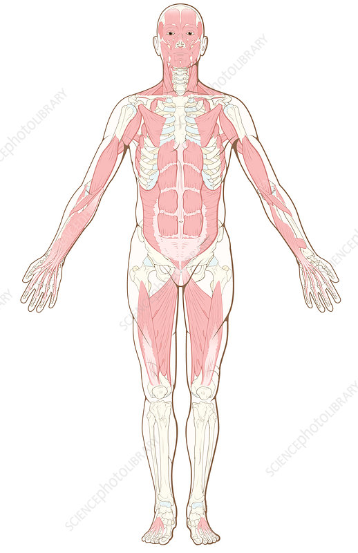 Deep Layers of the Musculoskeletal System