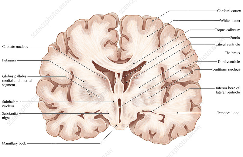 Brain, Coronal Section
