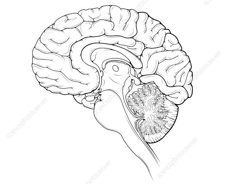 brain  midsagittal view - stock image c024  9842