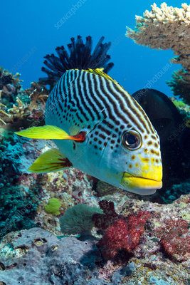 Striped sweetlips on a reef