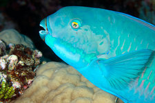 Indian steephead parrotfish on a reef