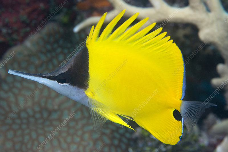 Longnose butterflyfish on a reef