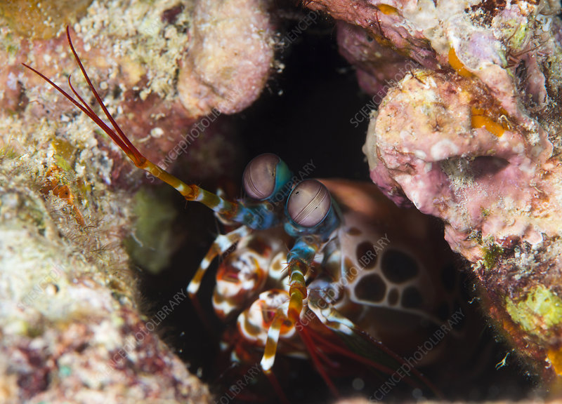 Mantis shrimp on a reef