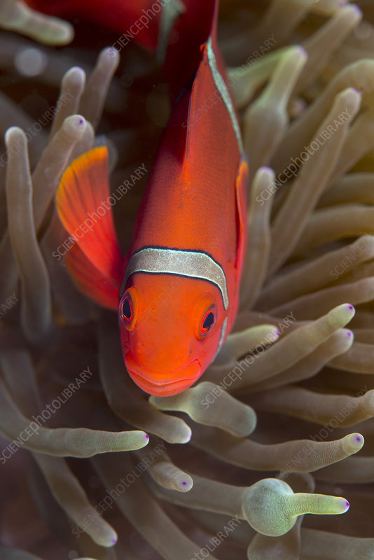 Spinecheek anemone fish on host anemone