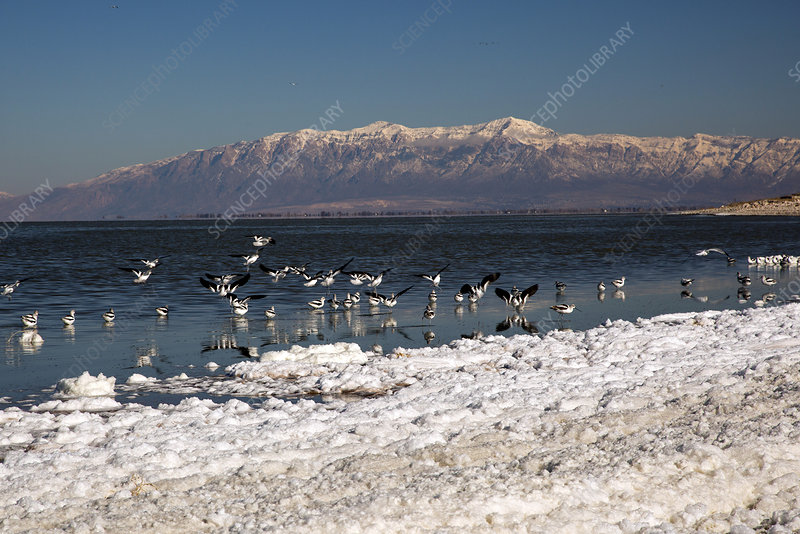 Avocets on Antelope Island, USA