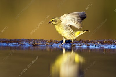 Yellow-eyed Canary landing at water