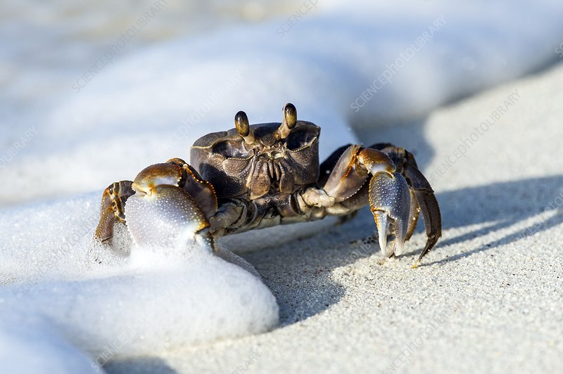 Ghost Crab in the foam line