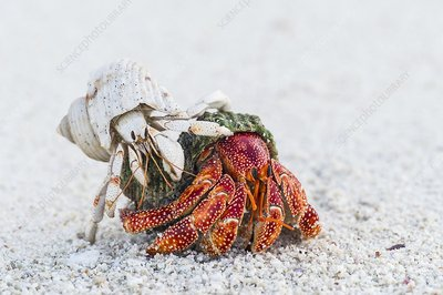 White and Red Hermit Crabs