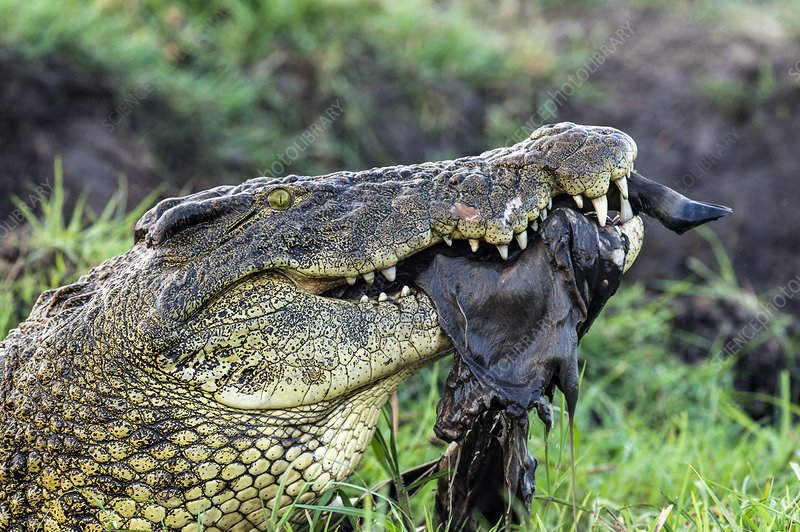 Nile Crocodile feeding on a carcass