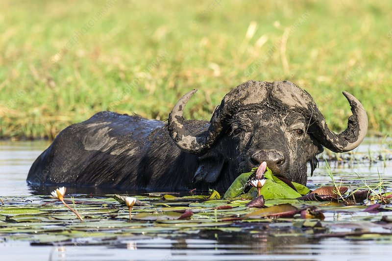 Cape Buffalo feeding on water lilies