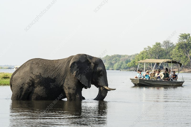 African elephant and tourists