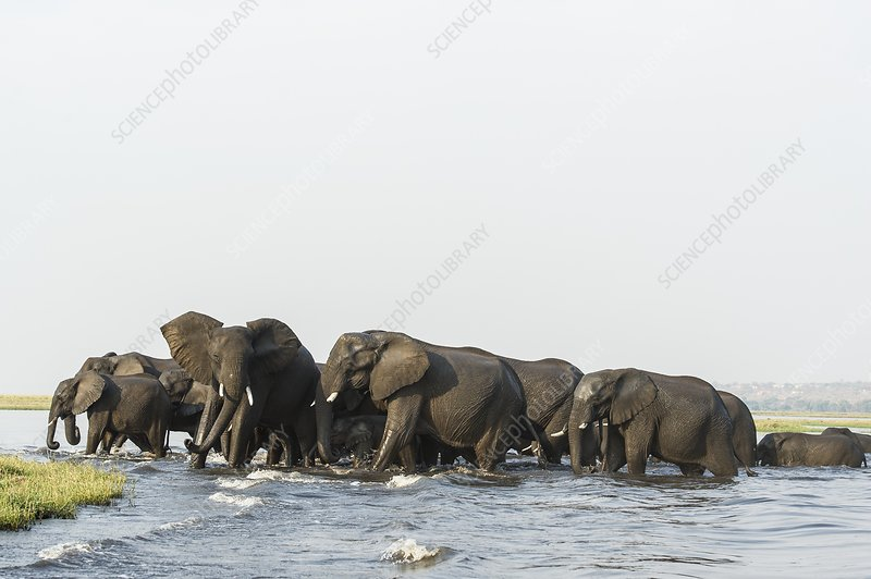 African Elephant herd swimming