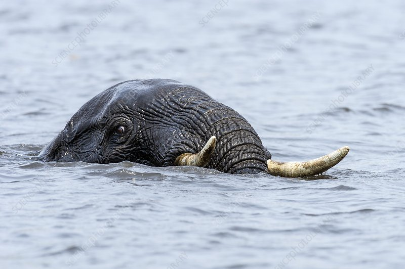 Swimming African Elephant