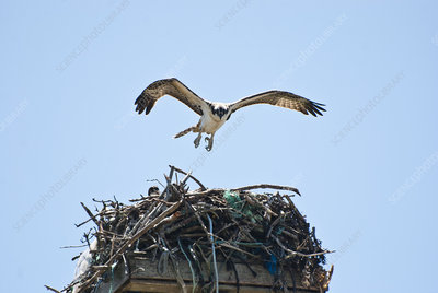 Osprey with Nest