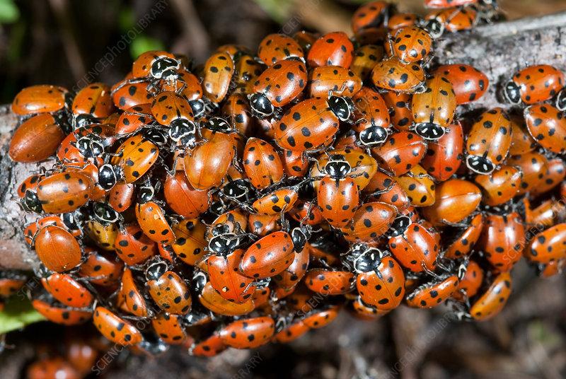 Convergent Ladybird Beetles