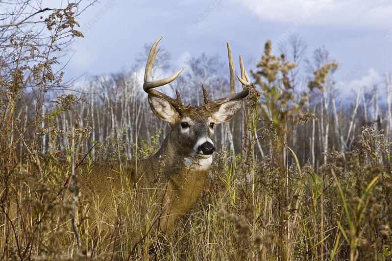 White-Tailed Buck in Fall