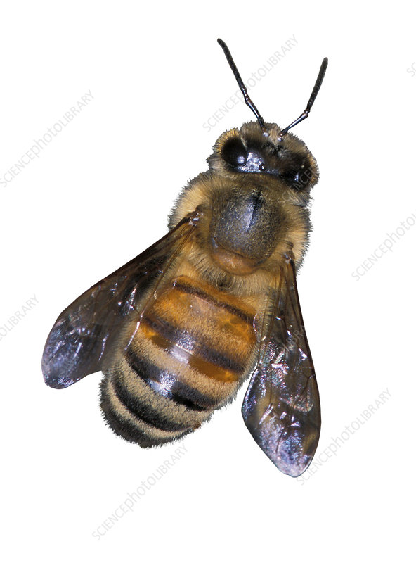 Africanized or Killer Bee