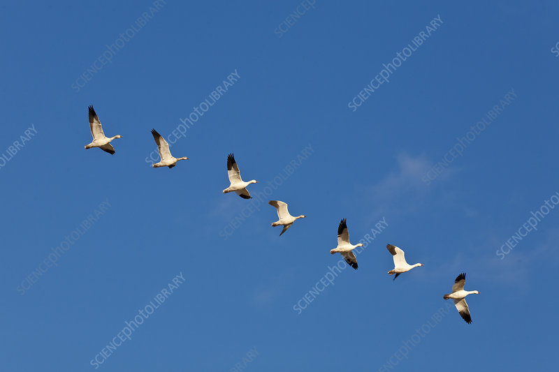 Seven Snow Geese in Flight