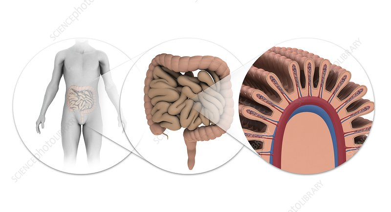 Human intestines, illustration