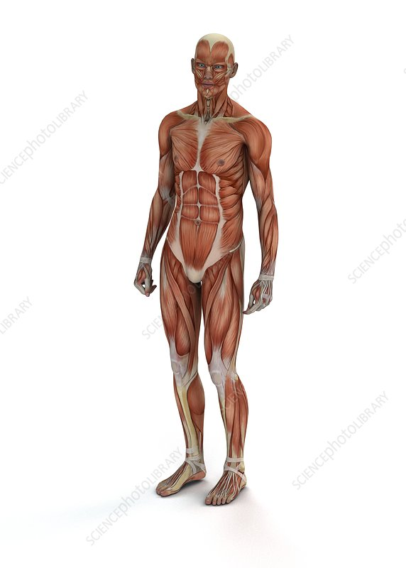 Human muscles, illustration