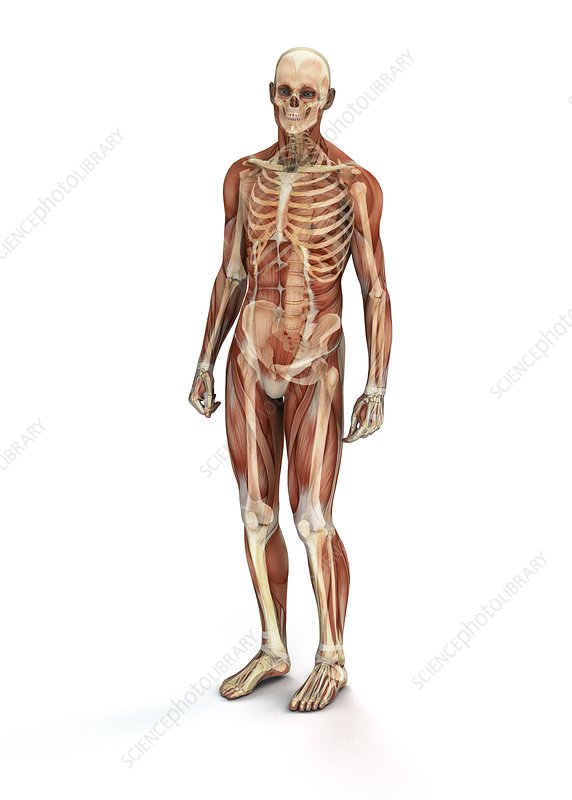 Human muscles and bones, illustration