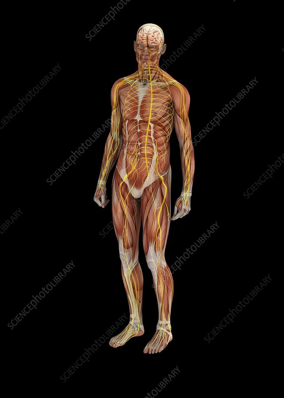 Human muscles and nerves, illustration
