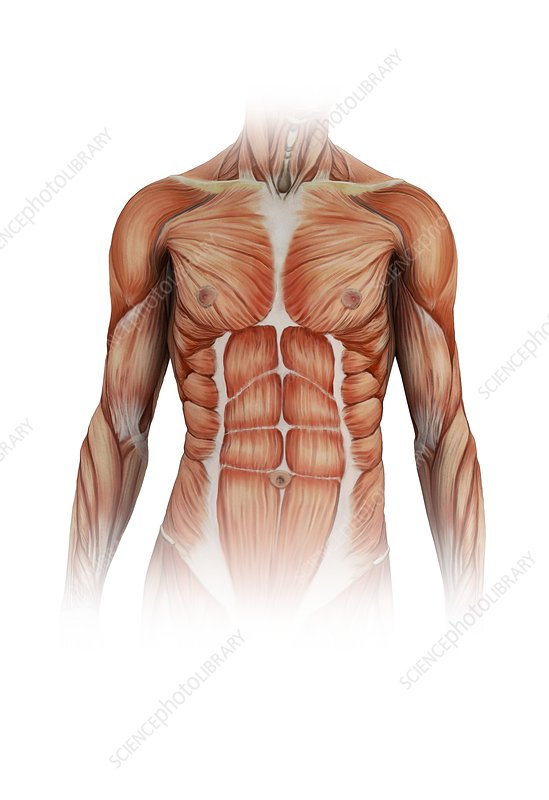 Human torso muscles, illustration