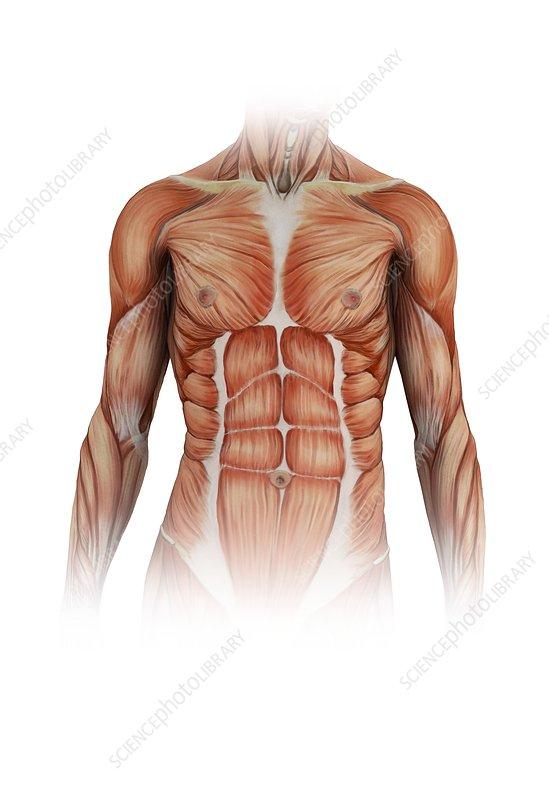 Human torso muscles, illustration - Stock Image C025/0676 - Science ...