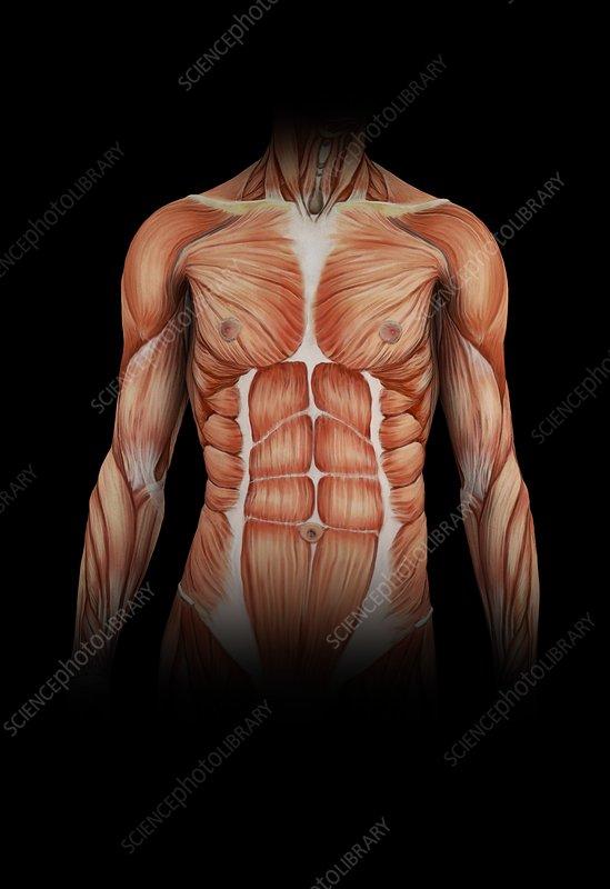 Human torso muscles, illustration - Stock Image C025/0677 - Science ...