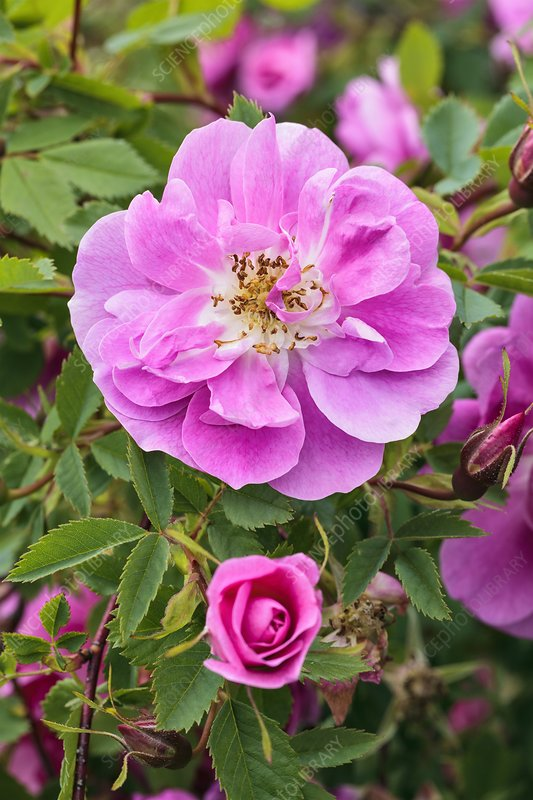 Rosa californica 'Plena'