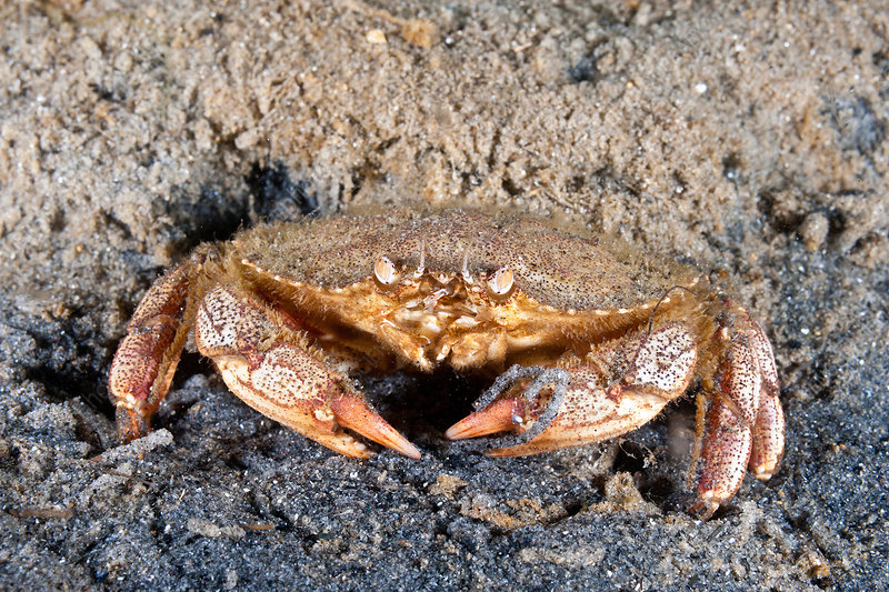 Atlantic Rock Crab feeding