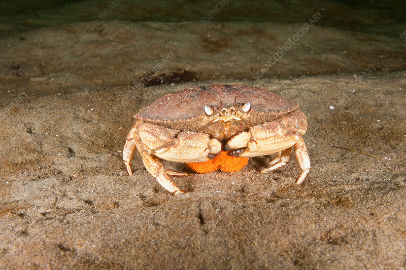 Jonah crab with eggs