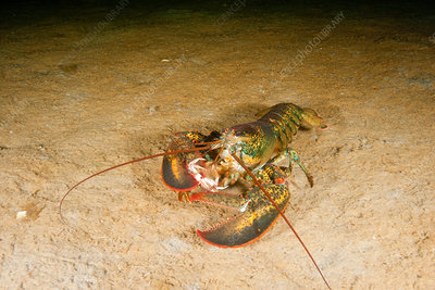 Northern Lobster, with prey