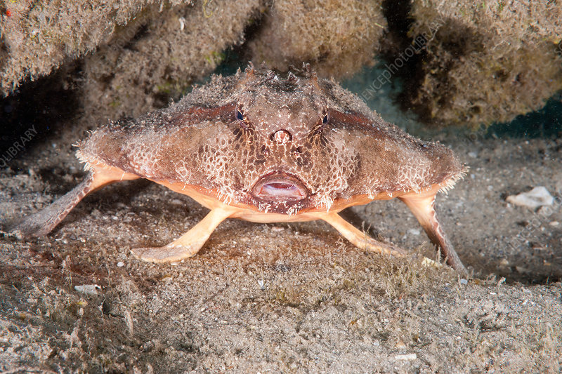 Polka Dot Batfish