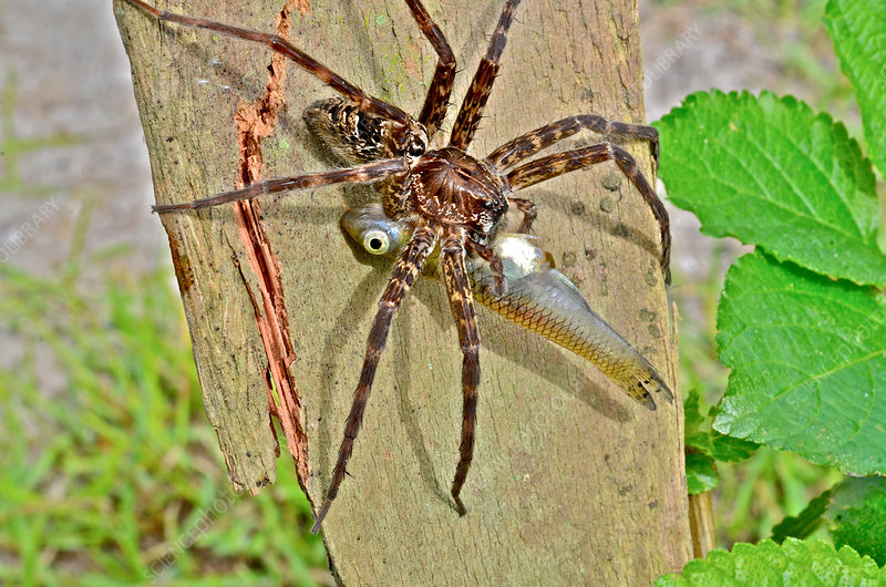 Dark Fishing Spider with fish