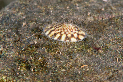 Plate Limpet, Gulf of Maine