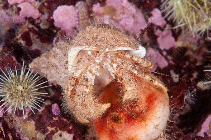 Hairy Hermit Crab