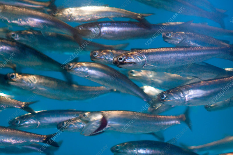 Northern Pacific Anchovies