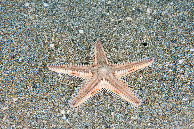Two-spined Sea Star